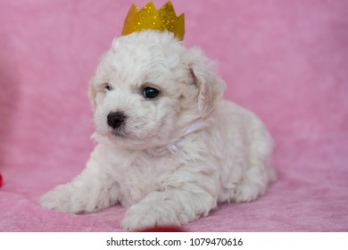 Cute puppy with sparkling crown. Adorable Bichon Frise pure breed puppy