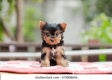 Cute puppy stand on the table in tree background.yorkshire terrier