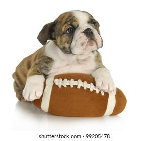 cute puppy with stuffed football - english bulldog 8 weeks old