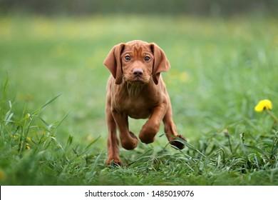 Cute Puppy Vizsla playing outdoors
