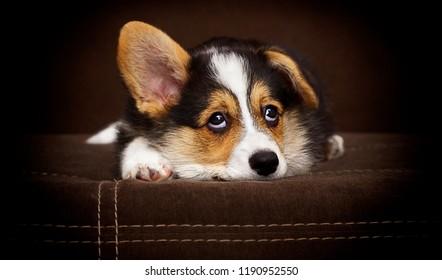 cute puppy welsh corgi pembroke