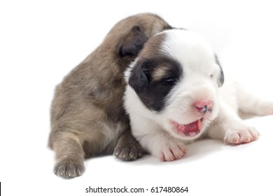 Cute puppy white background Thai Bang Kaew Dog