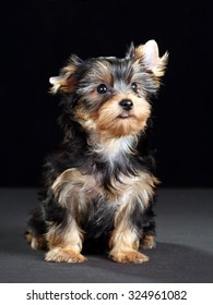 Cute Puppy Yorkshire terrier on a black background