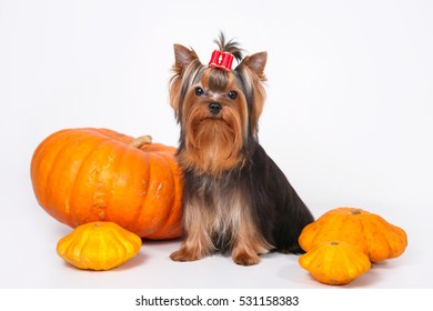 cute puppy Yorkshire Terrier posing on a white background with pumpkins