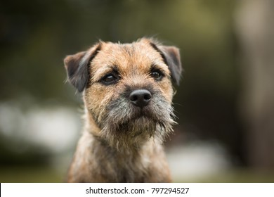 cute purebred border terrier portrait