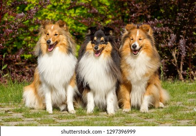 Cute purebred pedigreed shetland sheepdogs sitting outdoors on summer day with green background. Smiling sable black white tricolor sheltie, collie, little lassie in show condition, groomed