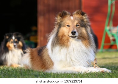 Cute purebred sable white sheltie, shetland sheepdog lies outside on sunset on a green grass with red storehouse background. Attentive, charming, adorable little collie, small lassie dog