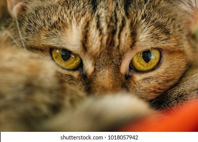 Cute pussy cat lying on blanket. Macro eyes of cat.