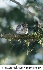 Cute Pygme owl in super green forest surroundings, Bialowieza, Poland
