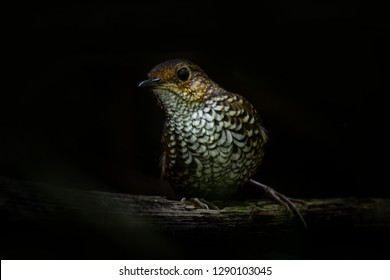 Cute pygmy wren babbler singing the high pitch call. he pygmy wren-babbler is a species of bird in the Pnoepyga wren-babblers family, Pnoepygidae, shy birds and hiding under the tree trunk