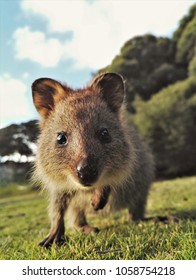 Cute Quokka close-up