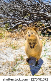 A cute Quokka outdoors at Rottnest Island in Western Australia. Quokka is considered the happiest animal in the world. Summer season, sunny day. Vertical shot.