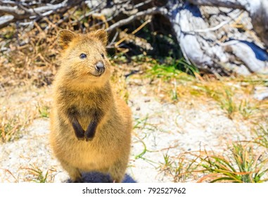 A cute Quokka outdoors. Rottnest Island in a sunny day, Western Australia. Quokka is considered the happiest animal in the world thanks to expression of snout that always reminds a smile. Copy space.