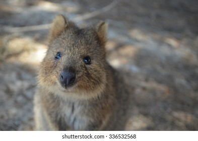 A cute quokka from Perth