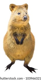 A cute Quokka standing, isolated on white background. The Quokka is an australian mammal and marsupial, twilight and nocturnal. Front view.