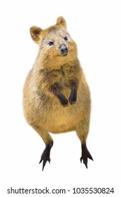 A cute Quokka standing, in Rottnest Island, Western Australia. Quokka is considered the happiest animal in the world. Quokka isolated on white background. Front side view with copy space.