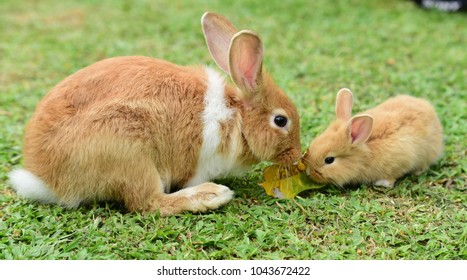 Cute Rabbit Brown And White Mother Baby Walking In The Lawn