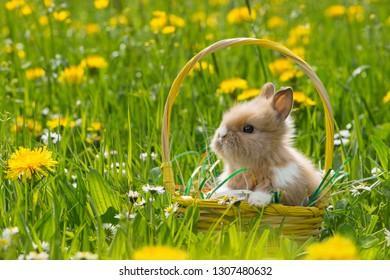 Cute rabbit in a easter basket on a flower meadow