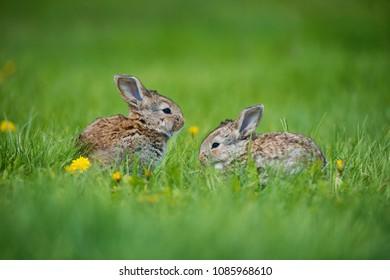 Cute rabbit with flower dandelion sitting in grass. Animal nature habitat, life in meadow. European rabbit or common rabbit.