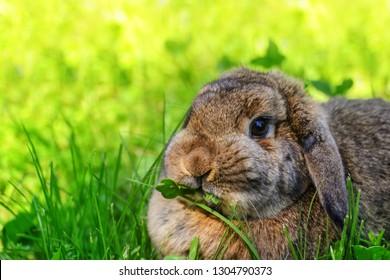 Cute rabbit with flower dandelion sitting in grass. Animal nature habitat, life in meadow. European rabbit or common rabbit. Rabit in pink spring flowers.