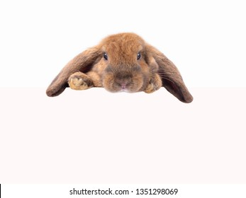 Cute rabbit holland lop looking over a signboard on white background. Brown bunny.