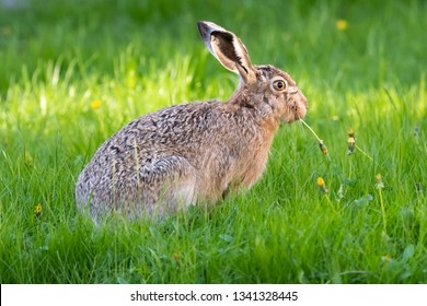 cute rabbit (jackrabbit/hare/bunny) sitting in grass in sunlight
