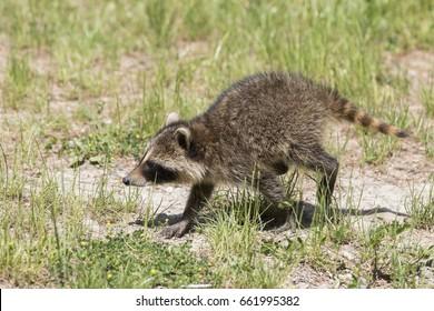 Cute raccoon baby