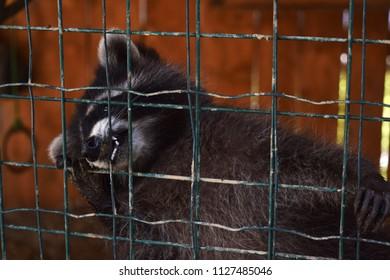 Cute raccoon behind the bars.