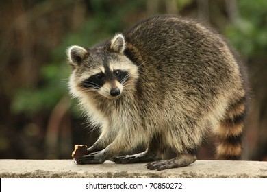 Cute raccoon nibbles a chocolate cookie