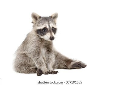 Cute raccoon sitting isolated on a white background