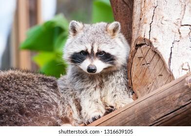 Cute raccoon sitting on the log