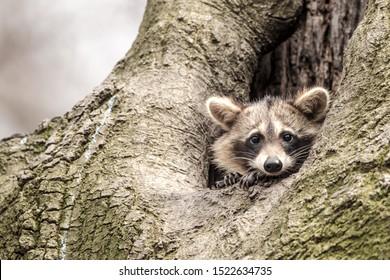 Cute raccoon - wildlife in Florida