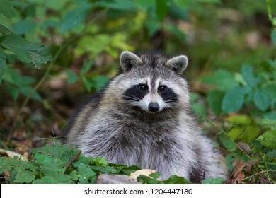 cute racoon portrait