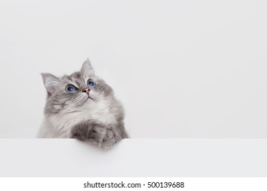 cute ragdoll cat with copyspace on white background