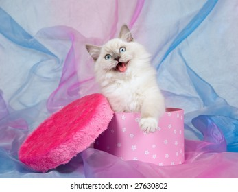 Cute Ragdoll kitten with open mouth, sitting inside cerise pink gift box with lid covered with fake faux fur