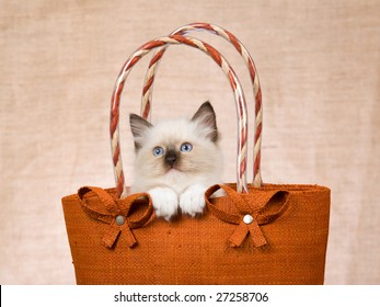 Cute Ragdoll kitten peeping out from brown handbag, showing off white paws