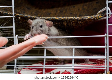 Cute rat agouti standard dumbo sits in a cage with an open window and sniffs a female hand, a symbol of the new year 2020