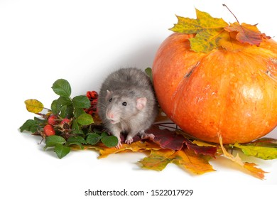 Cute rat dumbo on a white isolated background. Branches of mountain ash, rose hips, pumpkin and colorful autumn leaves. Rat is a symbol of Chinese New Year 2020