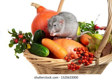 Cute rat dumbo with vegetables on a white isolated background. Branches of mountain ash, rose hips, pumpkin and other vegetables in a wicker basket. Rat is a symbol of Chinese New Year 2020