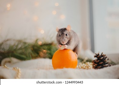 Cute rat with orange near Christmas tree. New Year and Christmas concept. Post card. Winter Hollidays.