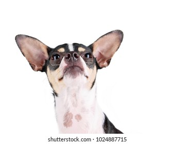 cute rat terrier looking up studio shot isolated on a white background