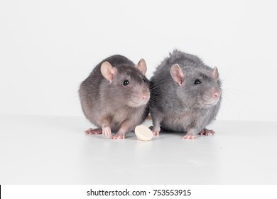 cute rats eating food isolated on white background