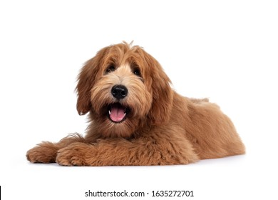 Cute red / abricot Australian Cobberdog / Labradoodle dog pup, laying down side ways. Mouth open, pink tongue out. Isolated on white background.