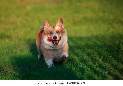 cute red corgi dog runs on the green grass in the summer sunny garden