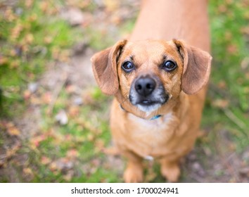 A cute red Dachshund mixed breed dog looking up at the camera
