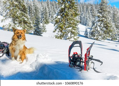 Cute red dog sitting on snow near snowshoes and pine trees