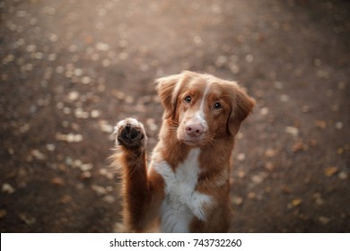 cute red dog waving paw. Breed New Scotland Retriever. Autumn
