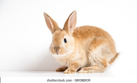 Cute red easter bunny rabbit looking curiouslyon white background