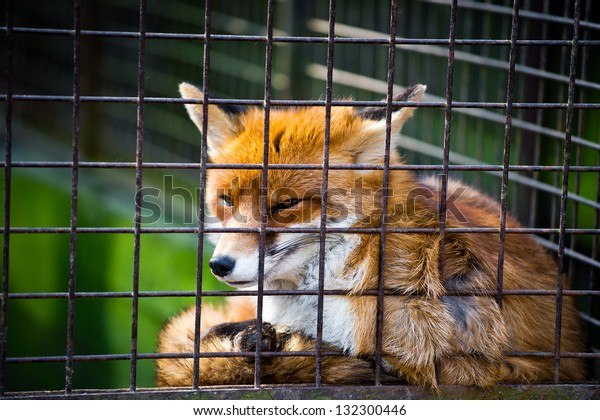 Cute red fox suffering in the cage