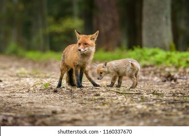 Cute Red Fox, Vulpes vulpes in fall forest. Beautiful animal in the nature habitat. Wildlife scene from the wild nature. Red fox running in orange autumn leaves
